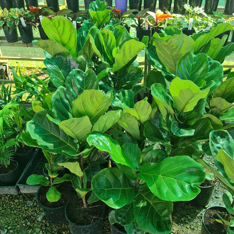 plants for sale bonville